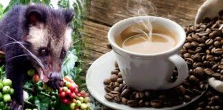 kopi luwak cafe - Cantineoqueteveonews